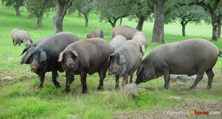 Ganadería de Cerdo Ibérico: «animal friendly»